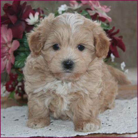 Rolling Meadows Mixed Breed Puppies  Autos Post