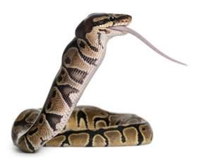 Python Shedding Care by 100 Python Shedding And Feeding Care Sheet