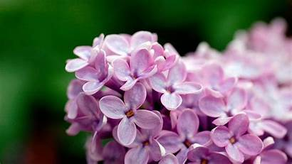 Wallpapers Lilac