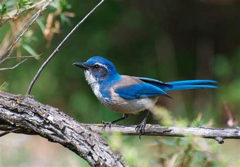 california scrub jay celebrate urban birds