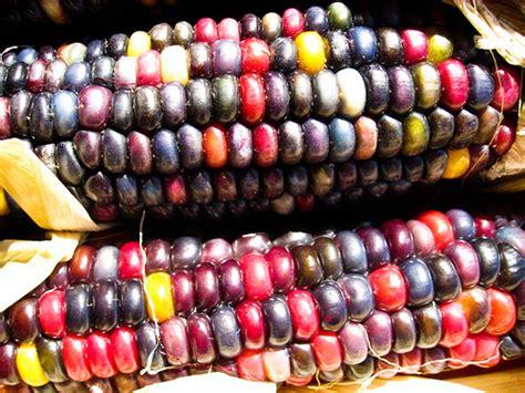 multicoloured corn multi colored corn flickr photo sharing