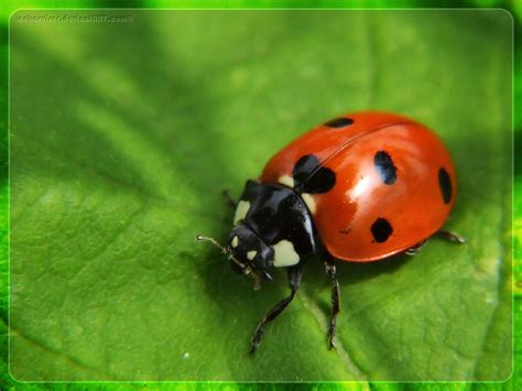 brown ladybug the coccinellidae are a family of small beetles ranging from 1 to 10 mm they are commonly