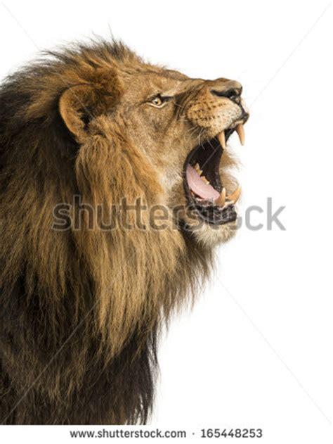 lion stock images royalty  images vectors