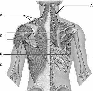Diagram Of Back Muscles