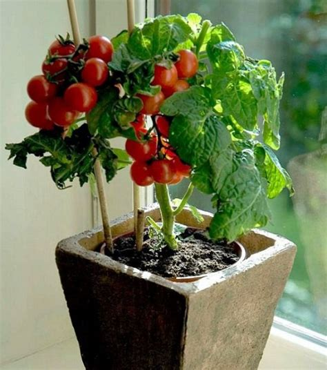 Growing Tomatoes Indoors On A Windowsill by 10 Veggies You Can Grow Indoors Gardening Viral