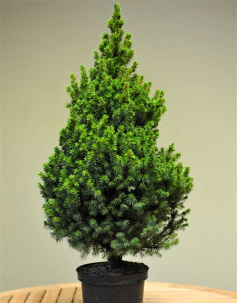 pot grown table top tree christmas trees delivered