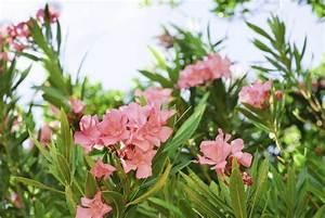 Getting Rid Of Oleander Plants  Tips On Oleander Bush Removal