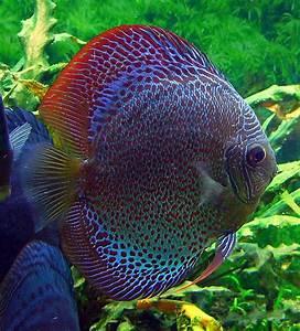Snakeskin Discus Fish | Exotic Tropical Ornamental Fish ...