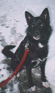 Height Weight Chart Siberian Husky German Shepherd Mixed Breed Dog Online