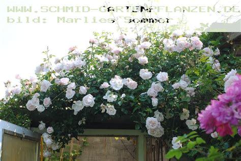 kletterrosen schneiden rosenbogen kletterrosen schneiden rosenbogen schneiden pflanzenfreunde gartengestaltung