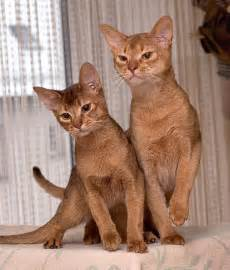 abyssinian cat abyssinian cat information facts habitat behavior