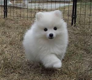 toy american eskimo (Kaitlyn) | pets | Pinterest | Samoyed ...