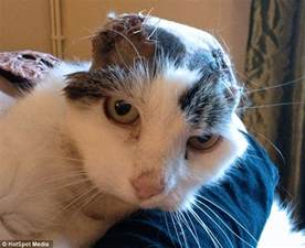 cancer in cats cat rips its own ears after being abandoned by owner