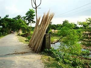 Panoramio - Photo of Bangladesh Natore Jute Cultivation
