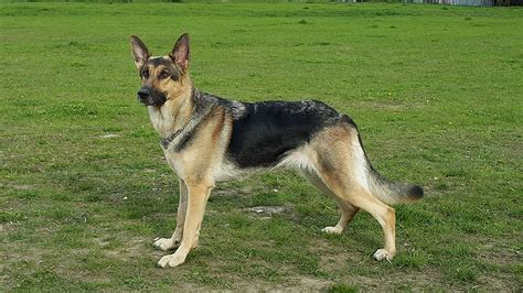 East German Shepherds
