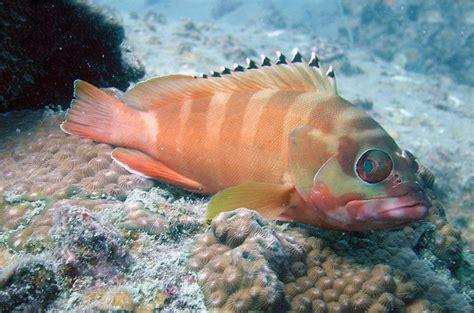 grouper blacktip groupers scuba thai gr
