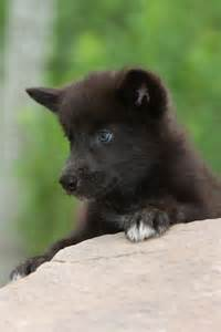 Black Wolves Pups with Blue Eyes