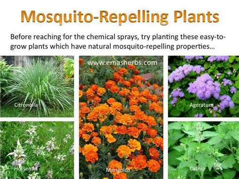 mosquito repellent plants for the home