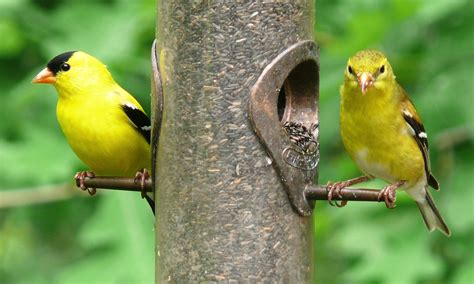 american goldfinch carduelis tristis birds