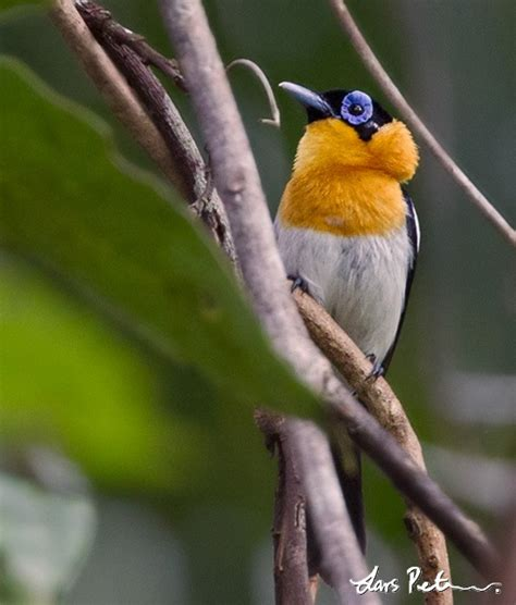 Ochre-collared Monarch - West Papua, New Guinea - Bird ...