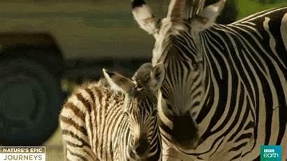 Bbc Wildlife Africa Gifs Zebra Giphy Foal