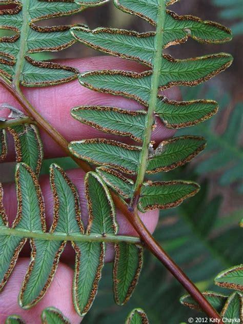 pteridium aquilinum bracken minnesota wildflowers