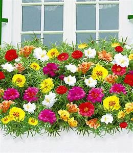 Portulak Pflanzen Kaufen : portulakr schen 39 margarita 39 1a qualit t kaufen baldur ~ Michelbontemps.com Haus und Dekorationen