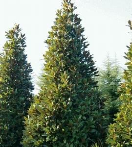 Winterharte Kübelpflanzen Schattig : magnolia grandiflora immergr ne magnolie 180 200cm ~ Michelbontemps.com Haus und Dekorationen