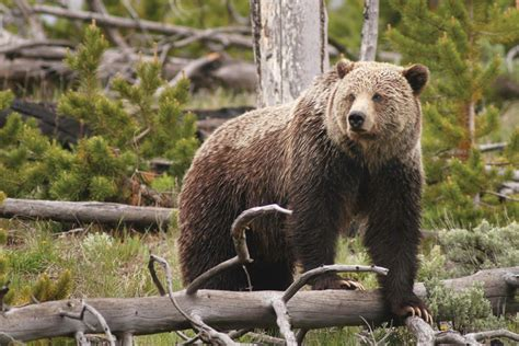 forgotten north cascades grizzly bear high country news