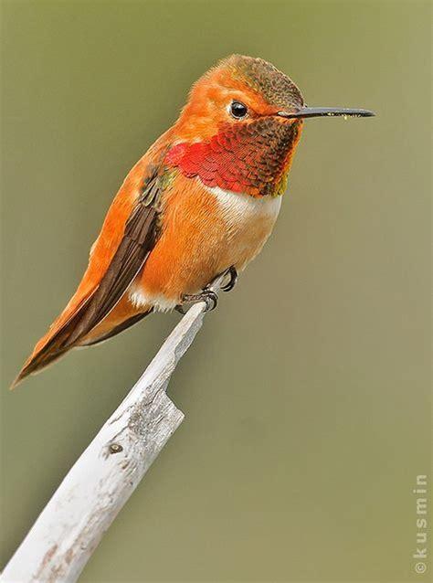 rufous hummingbird selasphorus rufus bypunkbirdr