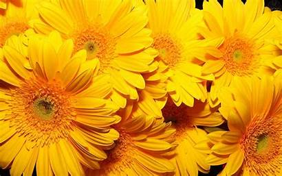 Yellow Flowers Wallpapers Flower