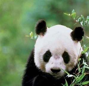 Giant Panda Breeding Inside The Chengdu Research Base