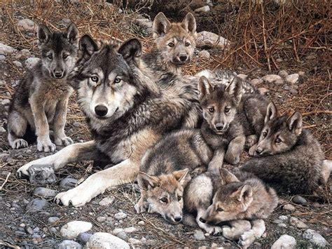 fondos de pantalla de familia de lobos wallpapers de