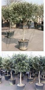 Sträucher Auf Stamm : olea europea olivenbaum kugel auf stamm pflanzenversand pflanzenhandel pflanzen ~ Michelbontemps.com Haus und Dekorationen