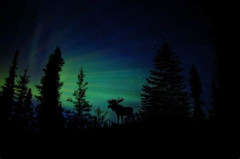 Animal Silhouette Wallpaper - moose forest animal silhouette hd animals 4k