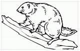 Beaver Coloring Dam Animal Raskraska Template Wildlife Results Animals sketch template