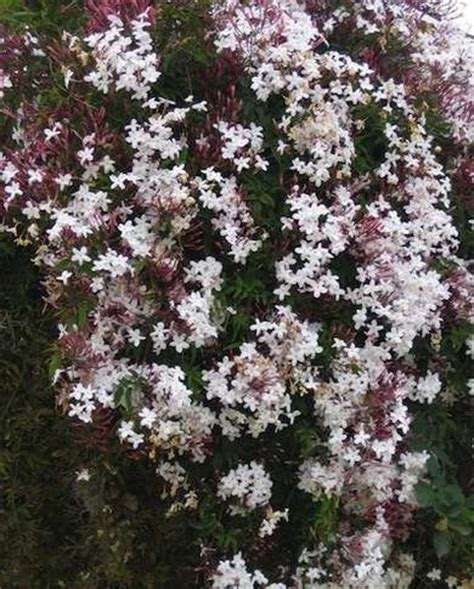 Flowering Climbers 8 Cures For The Common Garden