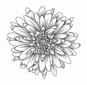 Gerbera Daisy Chrysanthemum Beautiful Flower Black Linear ...