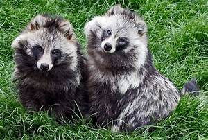 Raccoon Dogs: Fluffy Cuties With Identity Issues ...