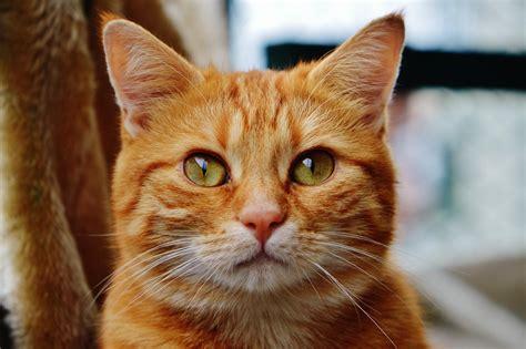 Cat, Cute, Portrait, Animal, Pet, Head