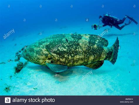 grouper goliath diver scuba endangered epinephelus alamy protected fl itajara
