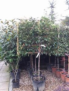 Photinia Red Robin : 17 best ideas about photinia red robin on pinterest red ~ Michelbontemps.com Haus und Dekorationen