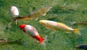 wie groß werden goldfische hp tsp fotoarchiv 2004