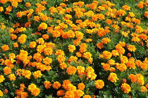 annual flowering bushes annual flowers www imgkid com the image kid has it