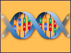 dna structure flashcards quizlet