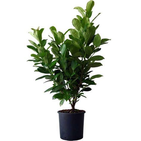 entretien laurier en pot acheter laurier palme rotundifolia pas cher au meilleur prix