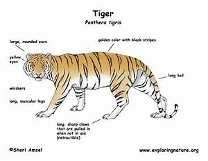 Wiring Diagram Tiger