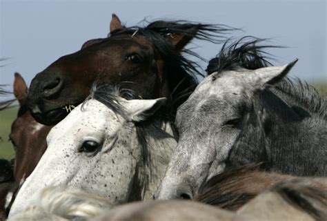 wild horses endangered species west horse extinct north america mustangs groups mustang petition under act maine protection pressherald sought federal