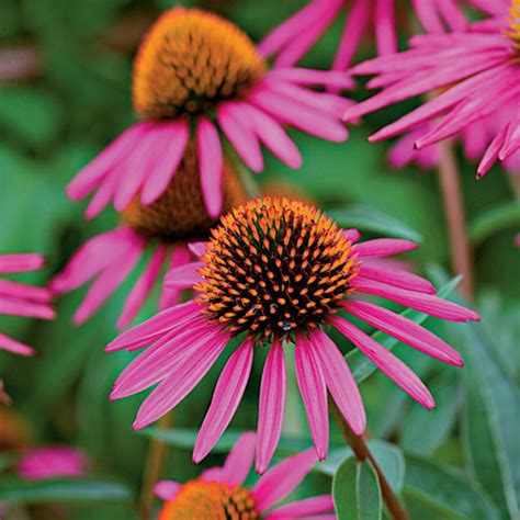 cone flowers cool your garden with color southern living