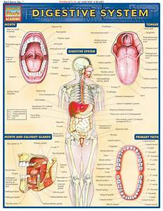 Barcharts Digestive System Quick Study Guide
